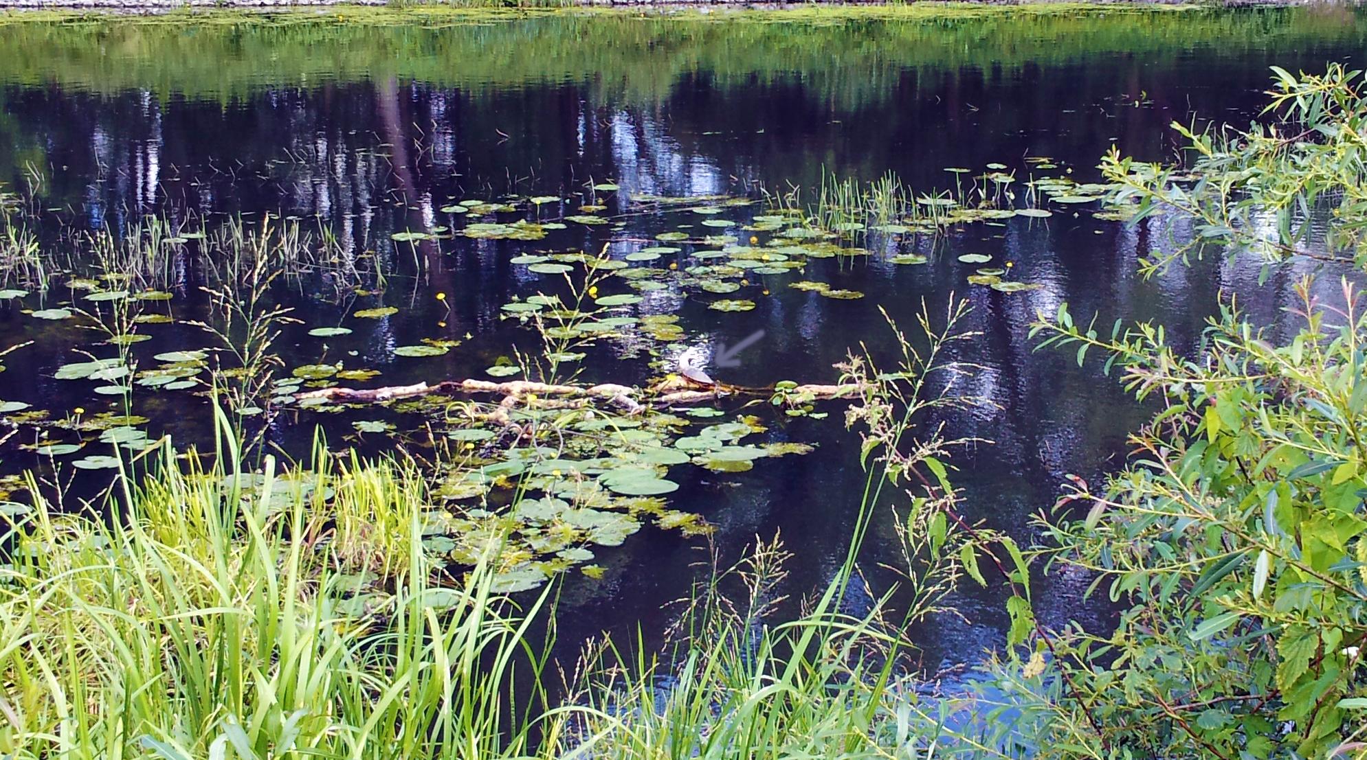 Schildkröte im Finowkanal