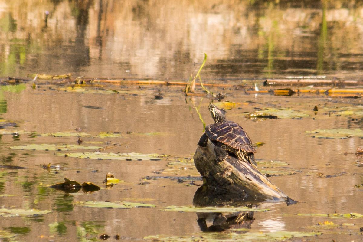 Schildkröte im Finowkanal #2